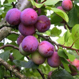 Ploomipuu