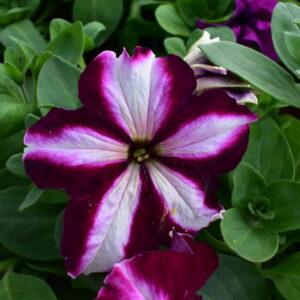 Madal petunia