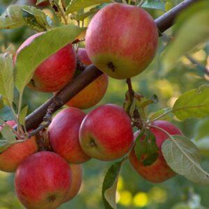 Õunapuud